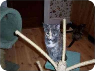 Domestic Shorthair Cat for adoption in North Plainfield, New Jersey - Allison