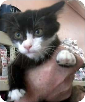 Domestic Mediumhair Kitten for adoption in Jacksonville, Florida - Jacee