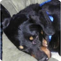 Adopt A Pet :: HELP SASSY - Toronto/Etobicoke/GTA, ON
