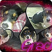 Adopt A Pet :: Gracie - Alamosa, CO