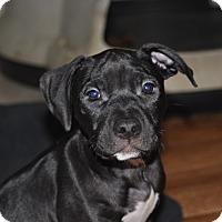 Adopt A Pet :: Shasta - Tumwater, WA