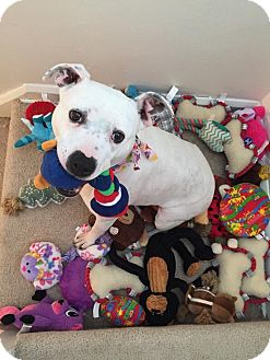 American Pit Bull Terrier/Staffordshire Bull Terrier Mix Dog for adoption in Medina, Ohio - Luna