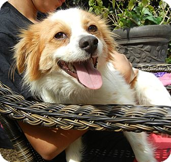 Papillon/Chihuahua Mix Dog for adoption in Houston, Texas - Mr. Rupert