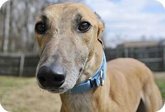 Greyhound Dog for adoption in Lexington, South Carolina - Pally