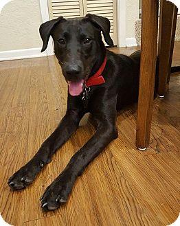 Labrador Retriever Mix Puppy for adoption in Austin, Texas - Peggy Sue