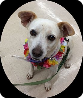Jack Russell Terrier/Chihuahua Mix Dog for adoption in Waipahu, Hawaii - Daisy