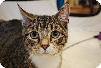Domestic Shorthair Cat for adoption in Exton, Pennsylvania - Clyde (Foster)