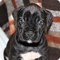 Adopt A Pet :: GABI - Hurricane, UT