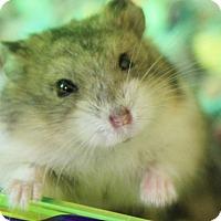 Adopt A Pet :: Sprinkles - Benbrook, TX