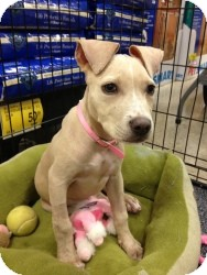 American Pit Bull Terrier/Labrador Retriever Mix Puppy for adoption in Fort Lauderdale, Florida - Lexi aka Bambi