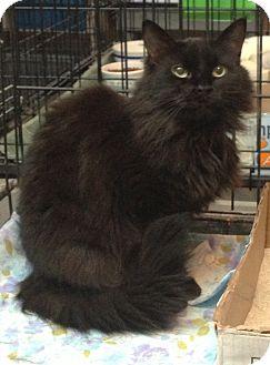 Domestic Longhair Cat for adoption in Westfield, Massachusetts - Simone