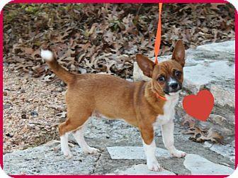 Chihuahua/Corgi Mix Puppy for adoption in Austin, Texas - Ralph