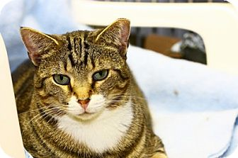 Domestic Shorthair Kitten for adoption in Lombard, Illinois - Eyes