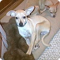 Adopt A Pet :: Tripee - Chandler, AZ
