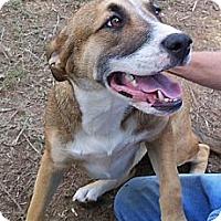 Adopt A Pet :: Bo - Conway, AR