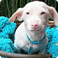 Adopt A Pet :: Ludo - Austin, TX