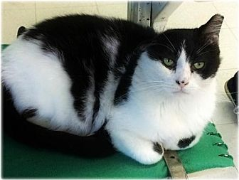 Domestic Shorthair Cat for adoption in Huntington, New York - Carlos