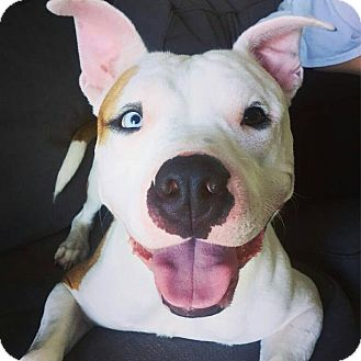 American Staffordshire Terrier Mix Dog for adoption in Warrenville, Illinois - Saint