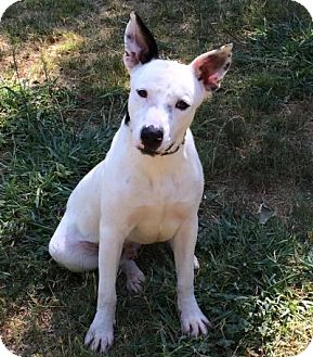 Australian Cattle Dog Mix Dog for adoption in Gridley, California - Chip