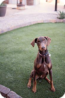 Doberman Pinscher Mix Dog for adoption in Phoenix, Arizona - Molly