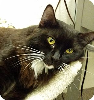Domestic Mediumhair Cat for adoption in Sarasota, Florida - Gypsy