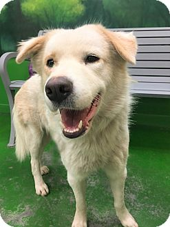 Great Pyrenees/Labrador Retriever Mix Dog for adoption in Nashville, Tennessee - JUDE