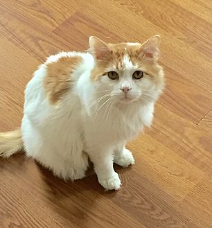 Domestic Mediumhair Cat for adoption in Greensburg, Pennsylvania - Amarillo