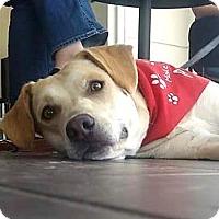 Labrador Retriever Mix Dog for adoption in Merriam, Kansas - Lettie