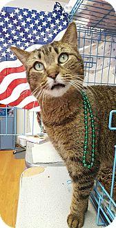 Domestic Shorthair Cat for adoption in Acushnet, Massachusetts - Stitch