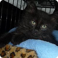 Adopt A Pet :: Furby - Dallas, TX