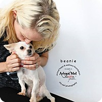 Adopt A Pet :: Beanie - Sherman Oaks, CA