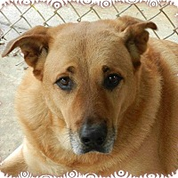 Golden Retriever/Labrador Retriever Mix Dog for adoption in Ozark, Alabama - Gino