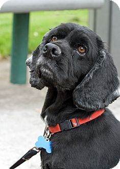 Cocker Spaniel Dog for adoption in Tacoma, Washington - BLACKIE
