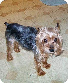 Yorkie, Yorkshire Terrier Dog for adoption in Nelliston, New York - Kofi