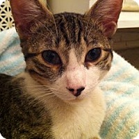 Adopt A Pet :: Dovy - Chicago, IL