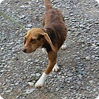 Adopt A Pet :: Alice - Minneapolis, MN