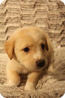 Husky/German Shepherd Dog Mix Puppy for adoption in Hagerstown, Maryland - Kapok