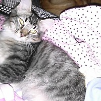 Domestic Mediumhair Cat for adoption in Loganville, Georgia - Biter