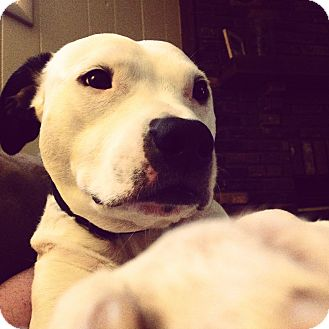 American Pit Bull Terrier/Terrier (Unknown Type, Medium) Mix Dog for adoption in Nashville, Tennessee - Carter