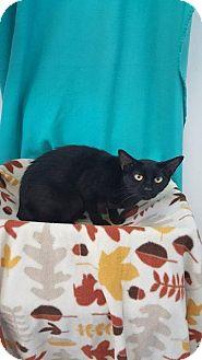 Domestic Shorthair Cat for adoption in Mt. Vernon, Illinois - Keller