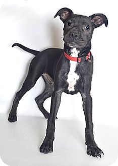 American Pit Bull Terrier Mix Puppy for adoption in Jefferson City, Missouri - Blue