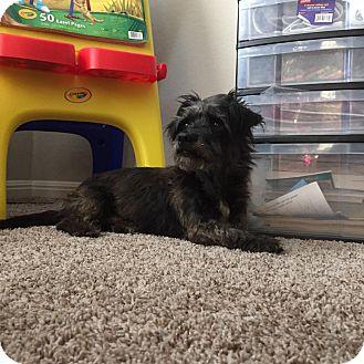 Schnauzer (Miniature)/Scottie, Scottish Terrier Mix Dog for adoption in San Antonio, Texas - Sammy