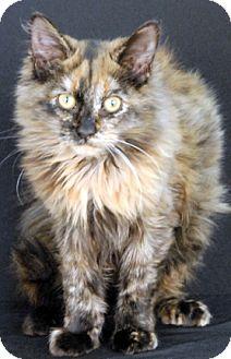 Domestic Longhair Cat for adoption in Newland, North Carolina - Nut Meg