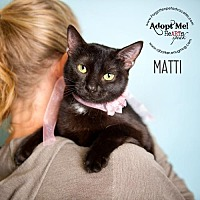 American Shorthair Cat for adoption in Pearland, Texas - Matti