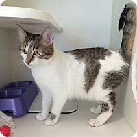 Domestic Longhair Kitten for adoption in Breese, Illinois - Nike