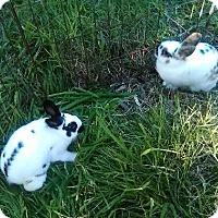 Adopt A Pet :: Eve - Encinitas, CA