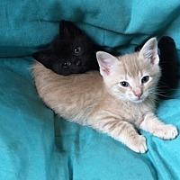 Adopt A Pet :: Myles - Cranford/Rartian, NJ