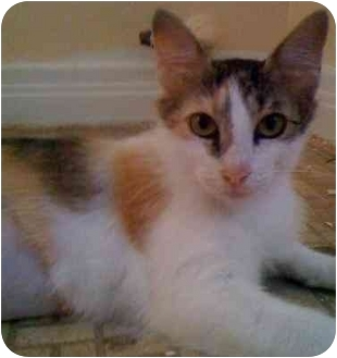Calico Cat for adoption in Garland, Texas - Mary