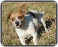 Wirehaired Fox Terrier/Jack Russell Terrier Mix Dog for adoption in Hagerstown, Maryland - Charlie