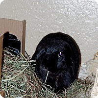 Lop-Eared Mix for adoption in Mesa, Arizona - Abby